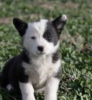 Borgi Puppies Pics
